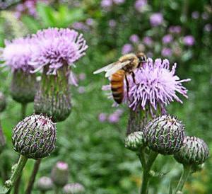 honeybee-on-thistle-1-(2)