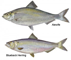 river_herring