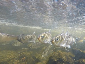 Alewives swimming